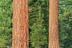 Pine Along