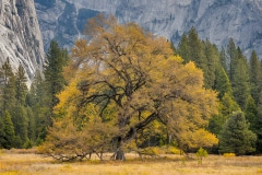 Oak, Fall, Yosemite
